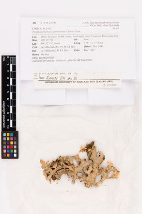 Pseudocyphellaria carpoloma, AK310200, © Auckland Museum CC BY