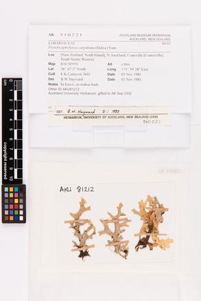 Pseudocyphellaria carpoloma, AK310221, © Auckland Museum CC BY