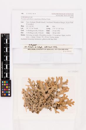 Pseudocyphellaria carpoloma, AK310244, © Auckland Museum CC BY