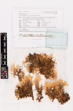 Pseudocyphellaria carpoloma, AK310279, © Auckland Museum CC BY