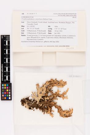 Pseudocyphellaria carpoloma, AK316077, © Auckland Museum CC BY