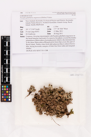 Pseudocyphellaria argyracea, AK326753, © Auckland Museum CC BY
