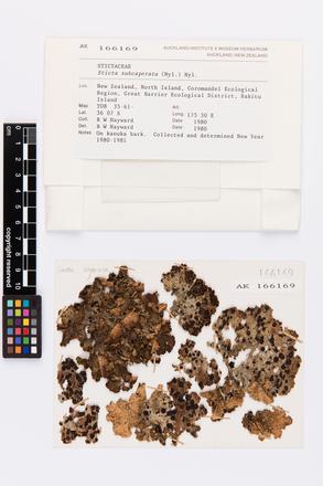 Sticta subcaperata, AK166169, © Auckland Museum CC BY