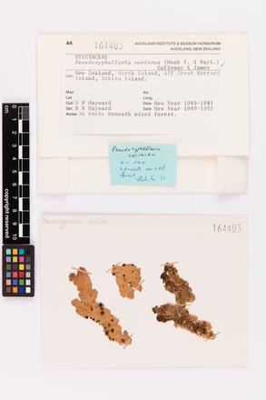 Pseudocyphellaria coriacea, AK164403, © Auckland Museum CC BY