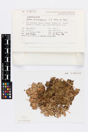 Sticta cinereoglauca, AK178757, © Auckland Museum CC BY