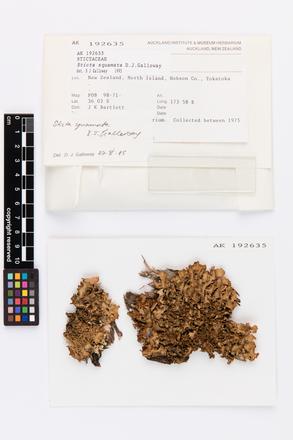 Sticta squamata, AK192635, © Auckland Museum CC BY