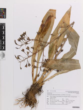 Arthropodium bifurcatum, AK352298, © Auckland Museum CC BY