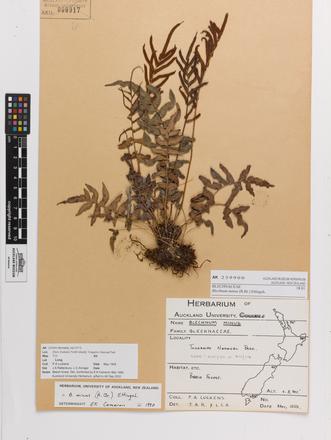Blechnum novae-zelandiae, AK259900, © Auckland Museum CC BY