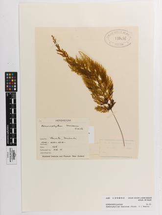 Hymenophyllum demissum, AK139892, © Auckland Museum CC BY