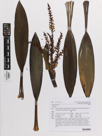 Cordyline, AK370243, © Auckland Museum CC BY