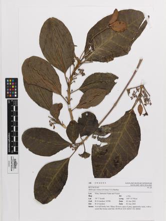 Melicope retusa, AK294095, © Auckland Museum CC BY