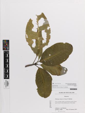 Melicope retusa, AK347034, © Auckland Museum CC BY