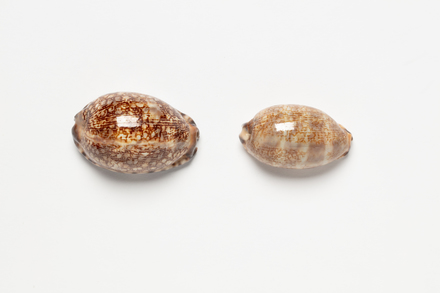 cowrie shell, 1972.95, 45409, Cultural Permissions Apply