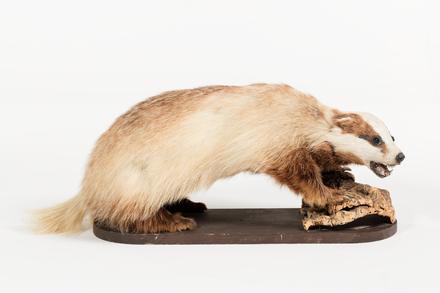 Helarctos malayanus, LM243, © Auckland Museum CC BY
