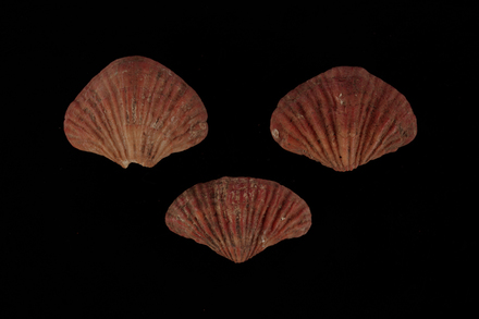 Terebratalia transversa, MA60798, © Auckland Museum CC BY