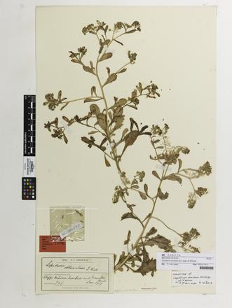 Lepidium amissum, AK206570, © Auckland Museum CC BY