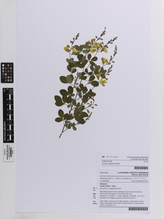Goodia lotifolia, AK377145, © Auckland Museum CC BY