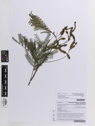 Acacia decurrens, AK377225, © Auckland Museum CC BY