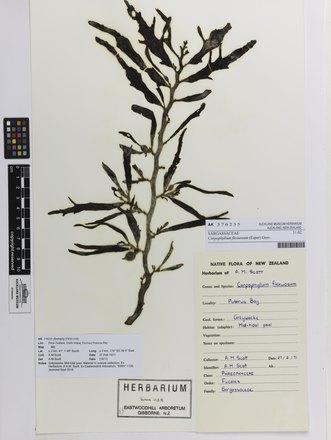 Carpophyllum flexuosum, AK376235, © Auckland Museum CC BY