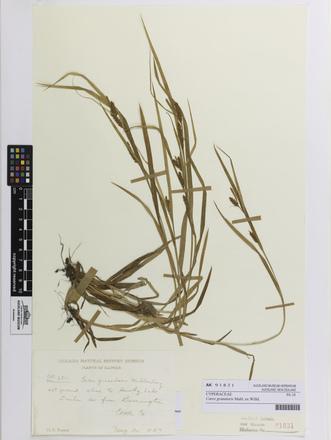 Carex granularis, AK91831, © Auckland Museum CC BY