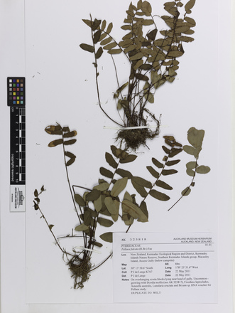 Pellaea falcata, AK325818, © Auckland Museum CC BY