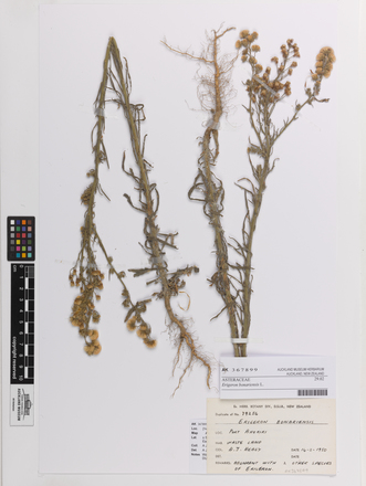 Erigeron bonariensis, AK367899, © Auckland Museum CC BY