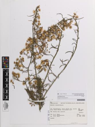 Erigeron bonariensis, AK367903, © Auckland Museum CC BY