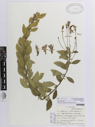 Hibiscus schizopetalus; AK142162; © Auckland Museum CC BY