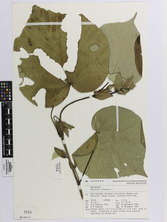 Hibiscus tiliaceus; AK234245; © Auckland Museum CC BY