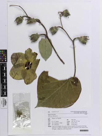 Hibiscus tiliaceus; AK349333; © Auckland Museum CC BY