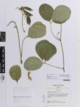 Canavalia sericea; AK373203; © Auckland Museum CC BY