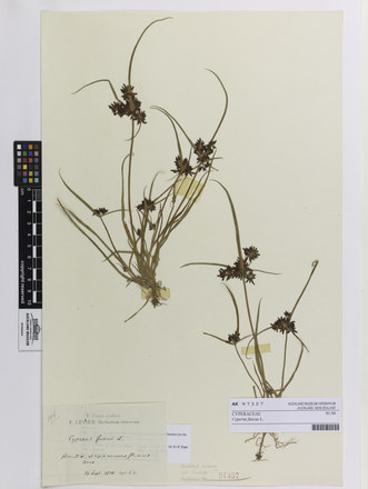 Cyperus fuscus; AK97357; © Auckland Museum CC BY
