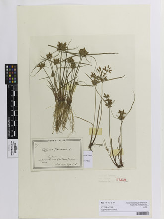 Cyperus flavescens; AK97359; © Auckland Museum CC BY