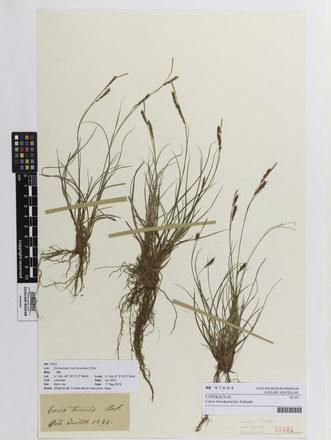 Carex brachystachys; AK97604; © Auckland Museum CC BY