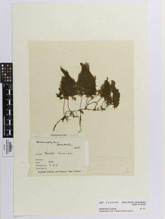Hymenophyllum flabellatum; AK114449; © Auckland Museum CC BY