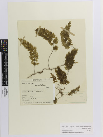 Hymenophyllum flabellatum; AK114450; © Auckland Museum CC BY