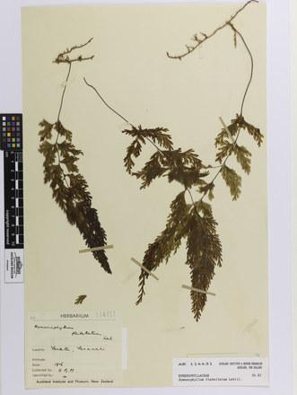 Hymenophyllum flabellatum; AK114451; © Auckland Museum CC BY