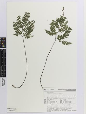 Adiantum viridescens; AK232006; © Auckland Museum CC BY