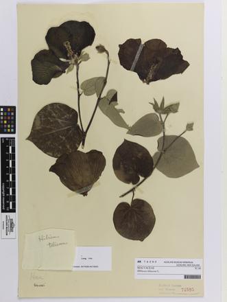 Hibiscus tiliaceus; AK74595; © Auckland Museum CC BY