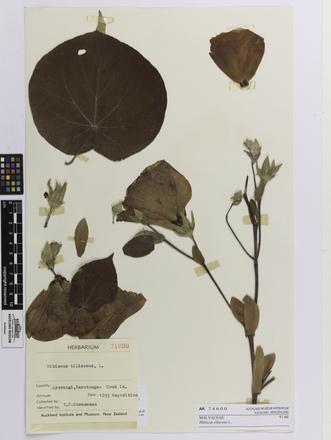 Hibiscus tiliaceus; AK74600; © Auckland Museum CC BY