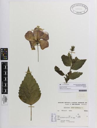 Hibiscus rosa-sinensis; AK149086; © Auckland Museum CC BY
