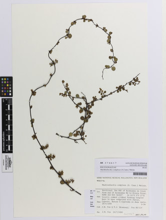 Muehlenbeckia complexa; AK374617; © Auckland Museum CC BY