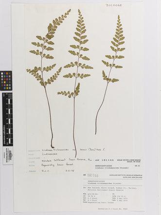 Lindsaea trichomanoides, AK181166, © Auckland Museum CC BY