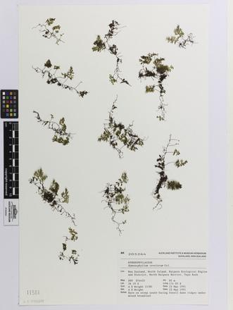 Hymenophyllum revolutum, AK205264, © Auckland Museum CC BY
