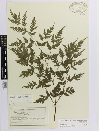 Pteris macilenta; AK135542; © Auckland Museum CC BY