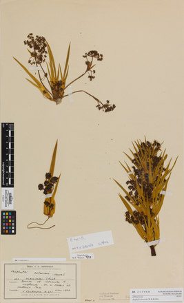 Aciphylla horrida, AK211968, © Auckland Museum CC BY
