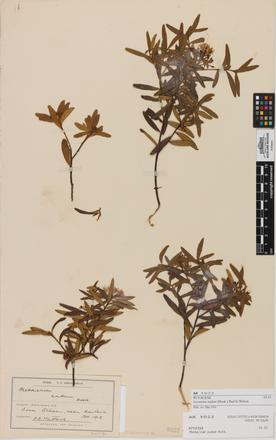 Leionema nudum, AK5022, © Auckland Museum CC BY