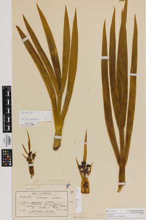 Aciphylla horrida, AK6400, © Auckland Museum CC BY