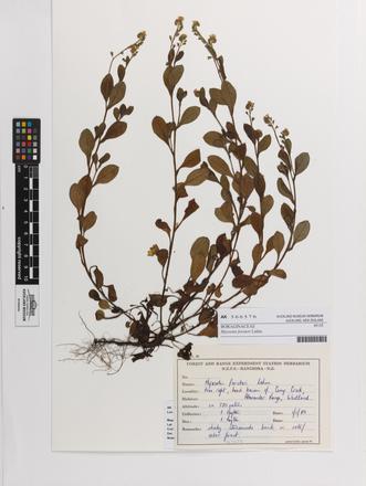 Myosotis forsteri, AK366576, © Auckland Museum CC BY