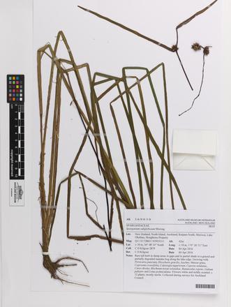 Sparganium subglobosum, AK369030, © Auckland Museum CC BY